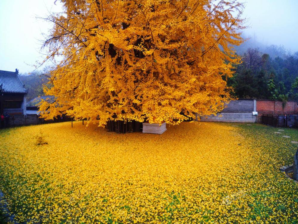 Chinese ginkgo tree2